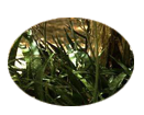Aloe vera which has antiseptic properties