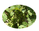 Grape seed extract provides natural nourishing