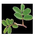 indigo herb