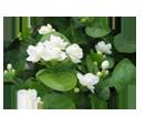 Jasmine oil rejuvenates skin